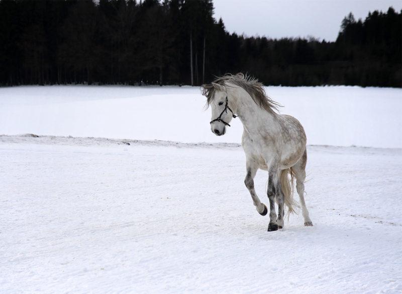 Pferdefotografie mit weißem Schimmel von Webfoto-Oberland