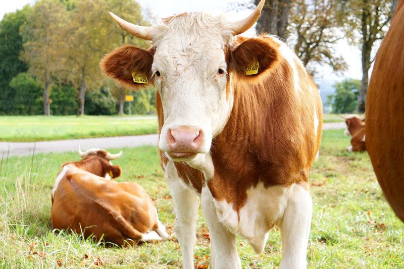 Kühe-Portrait Sprengenöd Webfoto-Oberland