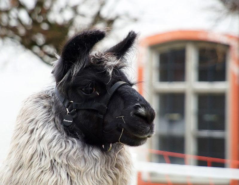 Lama-Outdoor-Portraits Webfoto-Oberland
