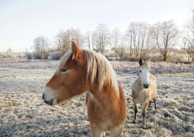 Winter-Pferde-Portraits Webfoto-Oberland