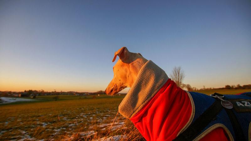 Sunrise Hunde-Portrait Webfoto-Oberland